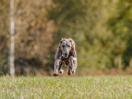 wyścigi psów jak obstawiać